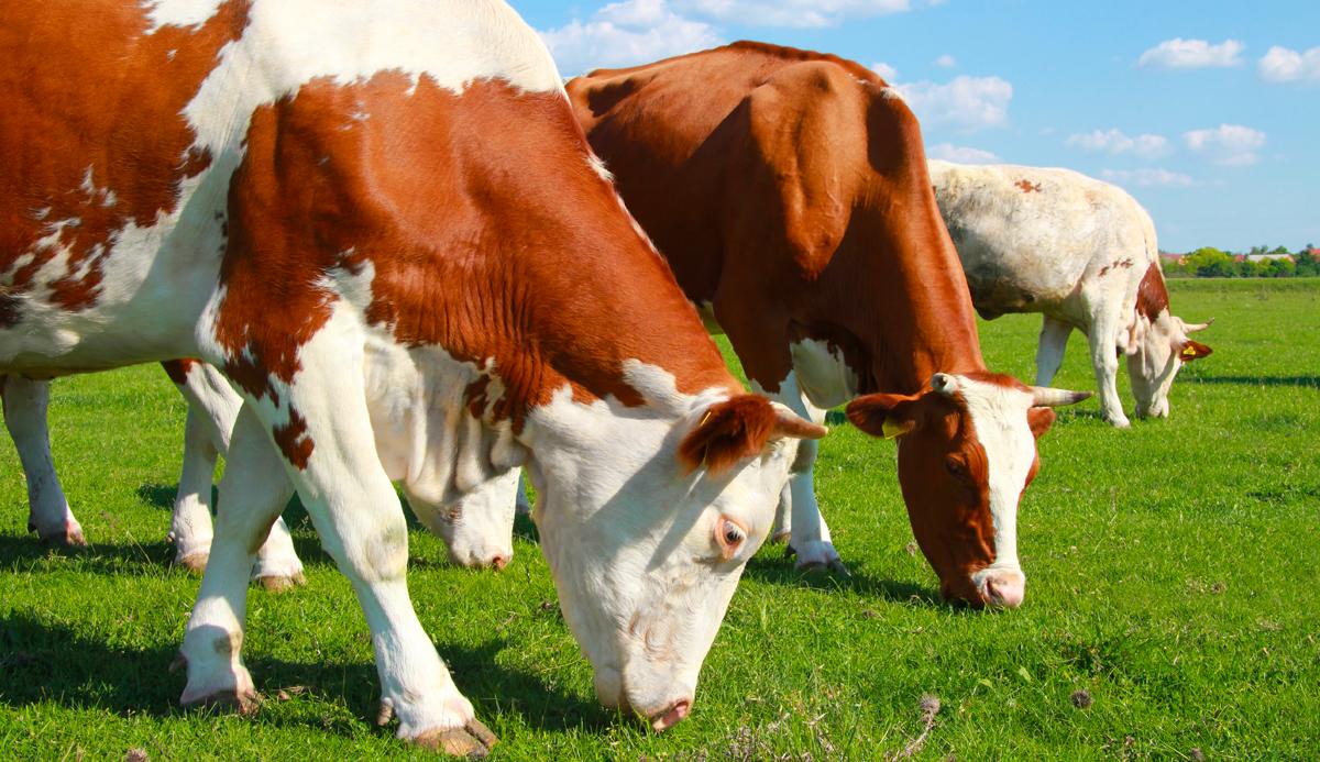 Allevamento biologico: l'alimentazione degli animali
